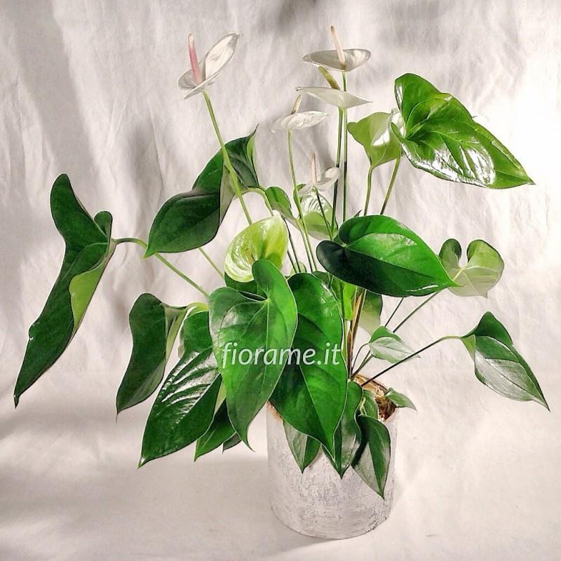 ANTHURIUM SUMI F6/H70 CILINDRO BETULLA-pianta