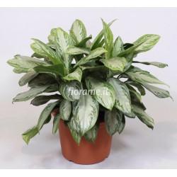 AGLAONEMA SILVER BAY plant generic