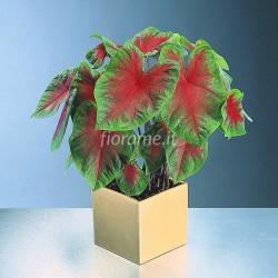 CALADIUM BICOLOR - plant generic