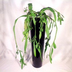 EPIPHYLLUM PHYLLANTHUS plant generic