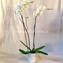 PHALENO WHITE 2 STEMS WITH...