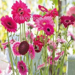 GERBERAS PINK IN NUMBER