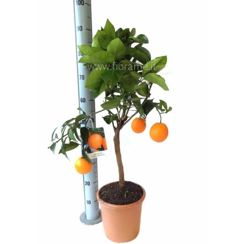 ARANCIO DOLCE CITRUS SINENSIS - pianta generica