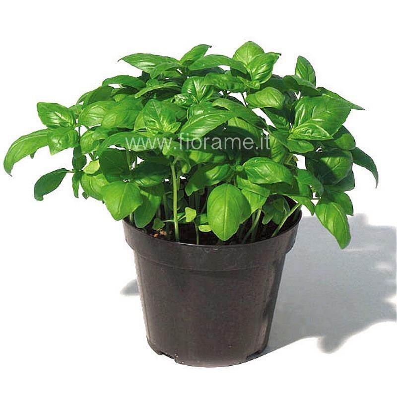 BASILICO OCIMUM BASILICUM - pianta generica