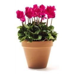 CYCLAMEN CYCLAMEN PERSICUM - plant generic