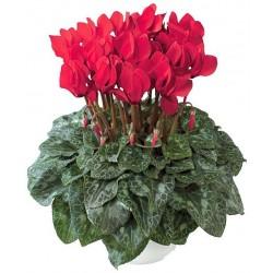 CICLAMINO CYCLAMEN PERSICUM - pianta generica