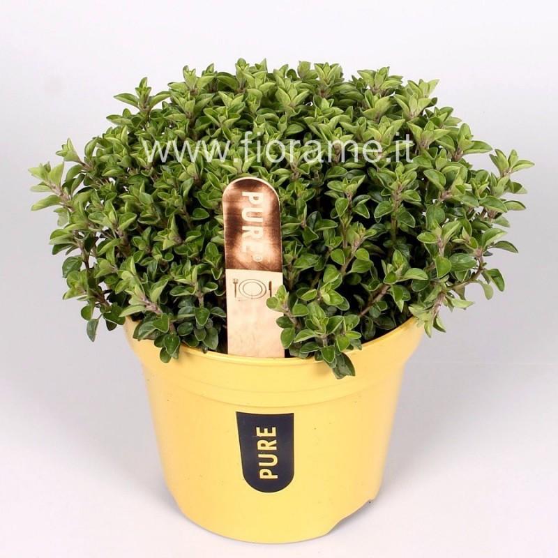 MAGGIORANA ORIGANUM MAJORANA - pianta generica