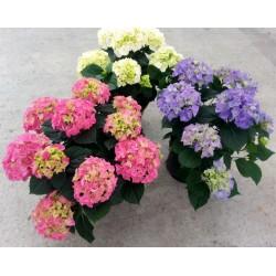 HYDRANGEA HYDRANGEA MACROPH.-plant generic