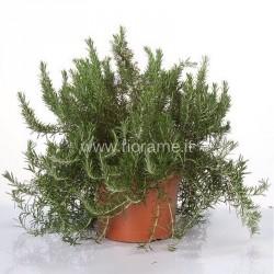 ROSEMARY ROSMARINUS OFFICIN.-plant generic
