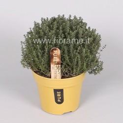 THYME THYMUS VULGARIS - plant generic
