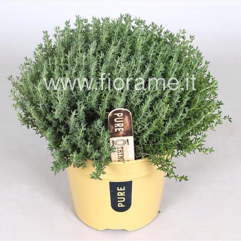 TIMO THYMUS VULGARIS - pianta generica
