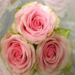 ROSES PINK MEDIUM IN NUMBER