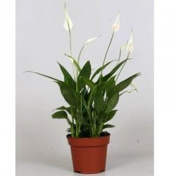 Spathiphyllum Korto