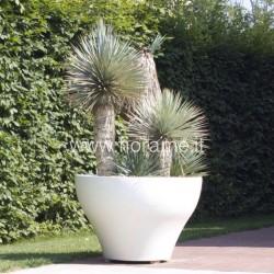 YUCCA ROSTRATA - pianta generica