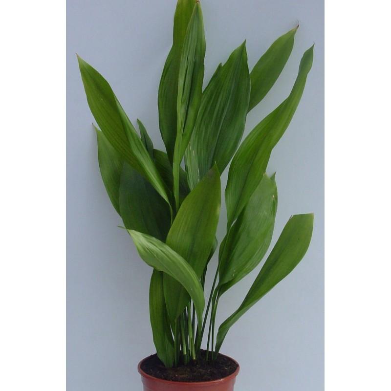 ASPIDISTRA ELATIOR - plant generic