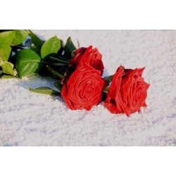 """YOU CHOOSE HOW MANY RED ROSES """"RED NAOMI"""""""