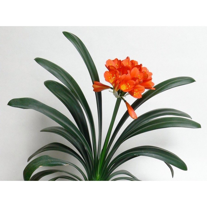 Clivia residence was ILLUMINATED in - plant generic