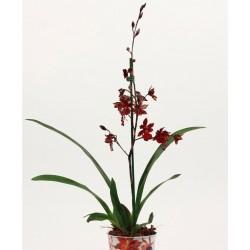 CAMBRIA VUYLSTEKEARA ORCHID - plant generic