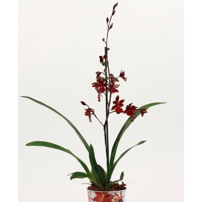 CAMBRIA VUYLSTEKEARA ORCHIDEA - pianta generica