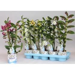 DENDROBIUM NOBILE - plant generic