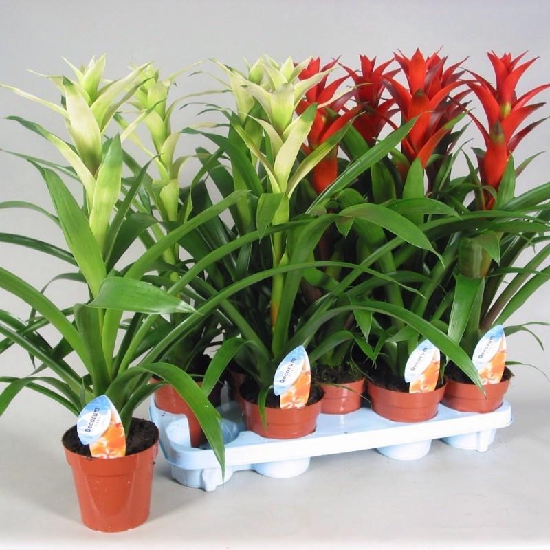 GUZMANIA - plant generic