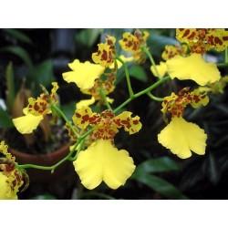 ONCIDIUM-ORCHID DANCER - plant generic