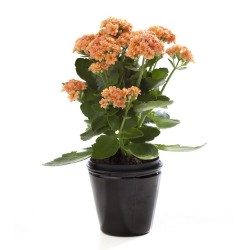 KALANCHOE BLOSSFELDIANA - pianta generica