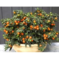 SOLANUM PSEUDOCAPSICUM - pianta generica