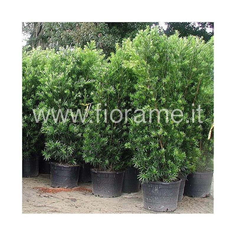 PODOCARPUS LATIFOLIUS MAKI H??? - plant