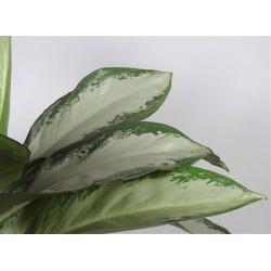 AGLAONEMA CLEOPATRA - pianta generica
